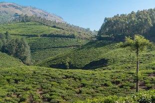 Tea fields of Munnar